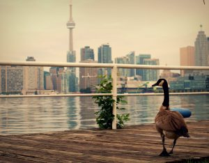 A goose walking on a boardwalk in Toronto